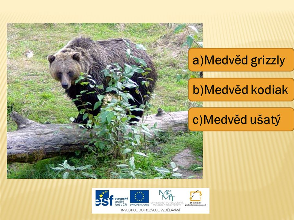 a)Medvěd grizzly b)Medvěd kodiak c)Medvěd ušatý