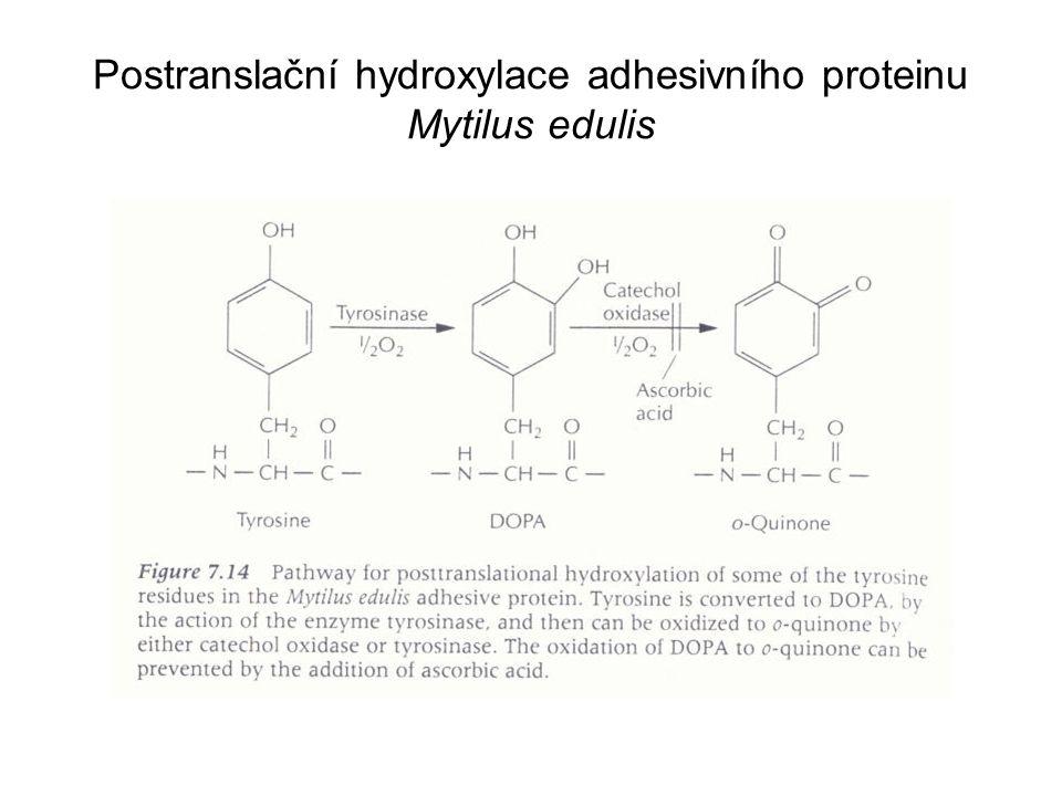 Postranslační hydroxylace adhesivního proteinu Mytilus edulis