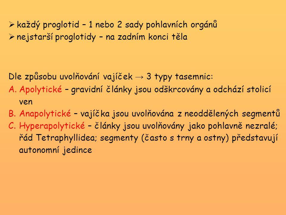 každý proglotid – 1 nebo 2 sady pohlavních orgánů