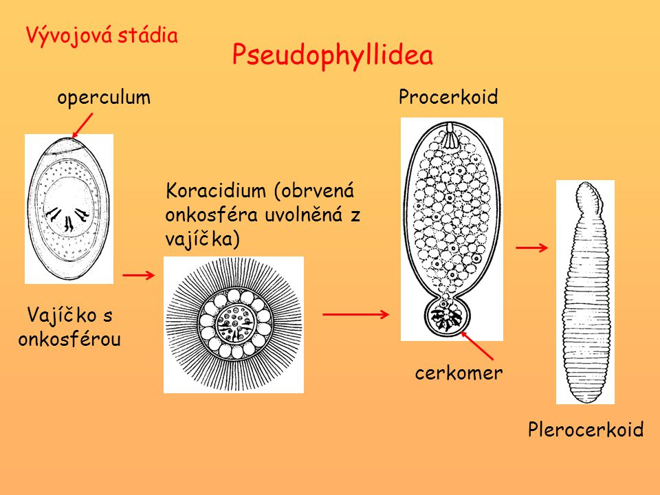 Pseudophyllidea Vývojová stádia Vajíčko s onkosférou operculum