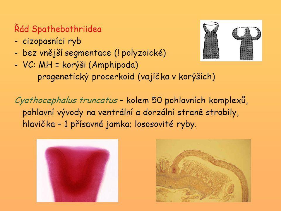 Řád Spathebothriidea cizopasníci ryb. bez vnější segmentace (! polyzoické) VC: MH = korýši (Amphipoda)
