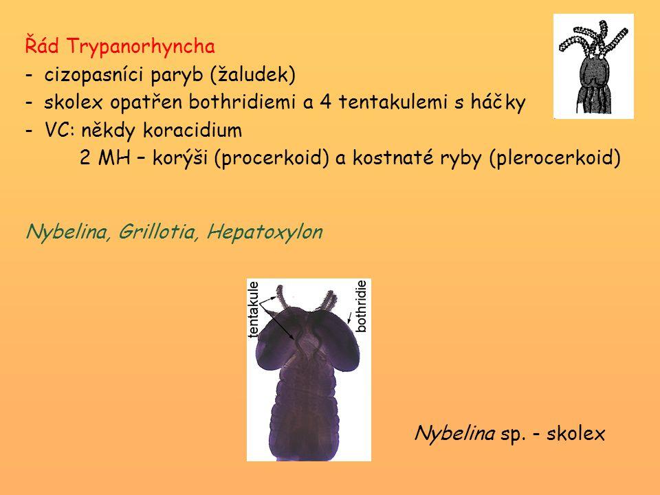 Řád Trypanorhyncha cizopasníci paryb (žaludek) skolex opatřen bothridiemi a 4 tentakulemi s háčky.