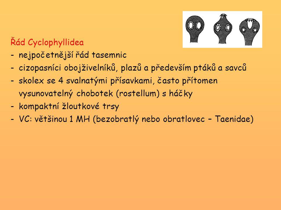 Řád Cyclophyllidea nejpočetnější řád tasemnic. cizopasníci obojživelníků, plazů a především ptáků a savců.