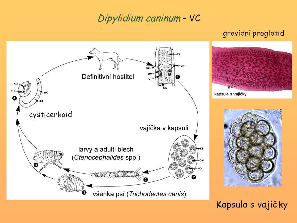 Dipylidium caninum - VC