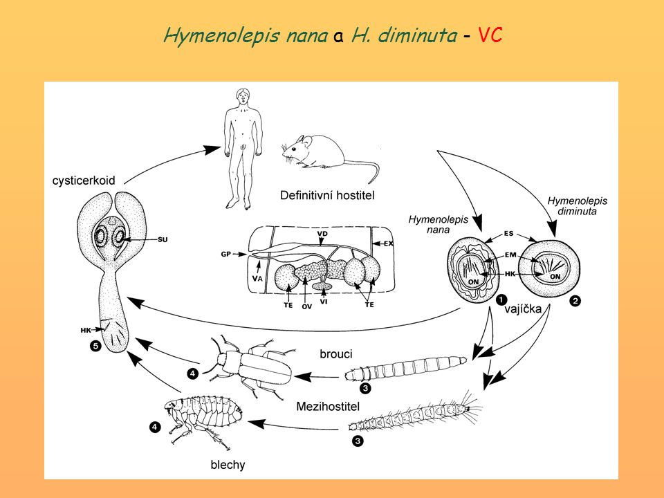 Hymenolepis nana a H. diminuta - VC