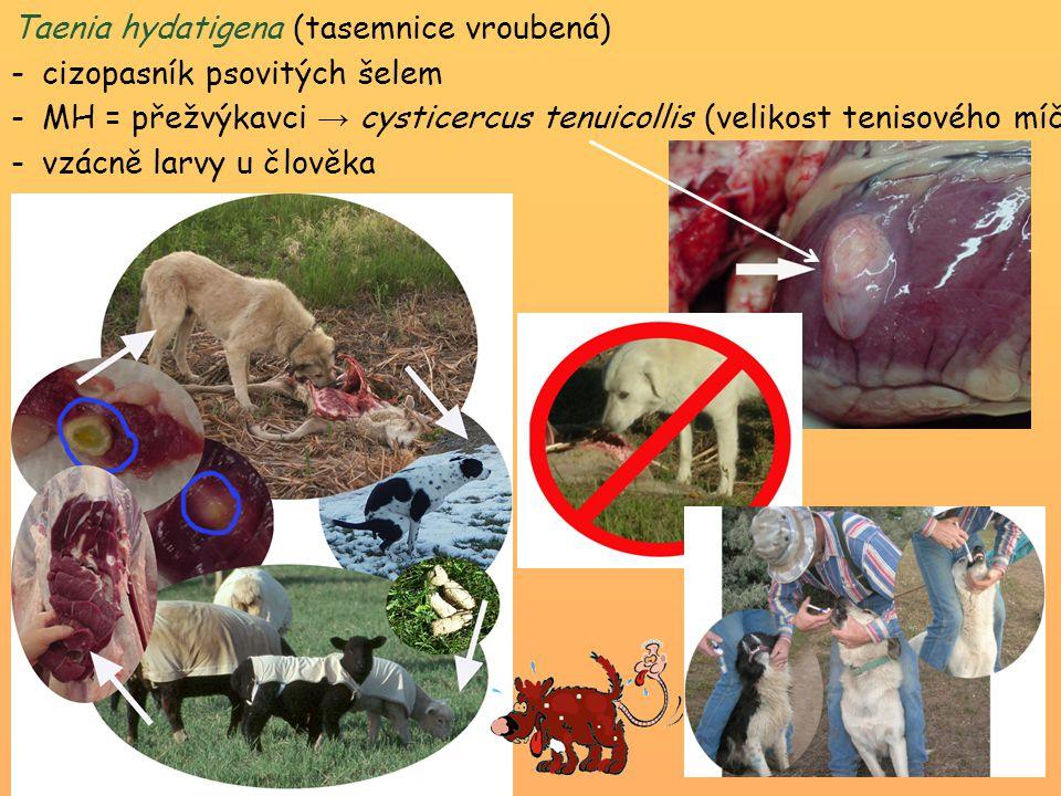 Taenia hydatigena (tasemnice vroubená)