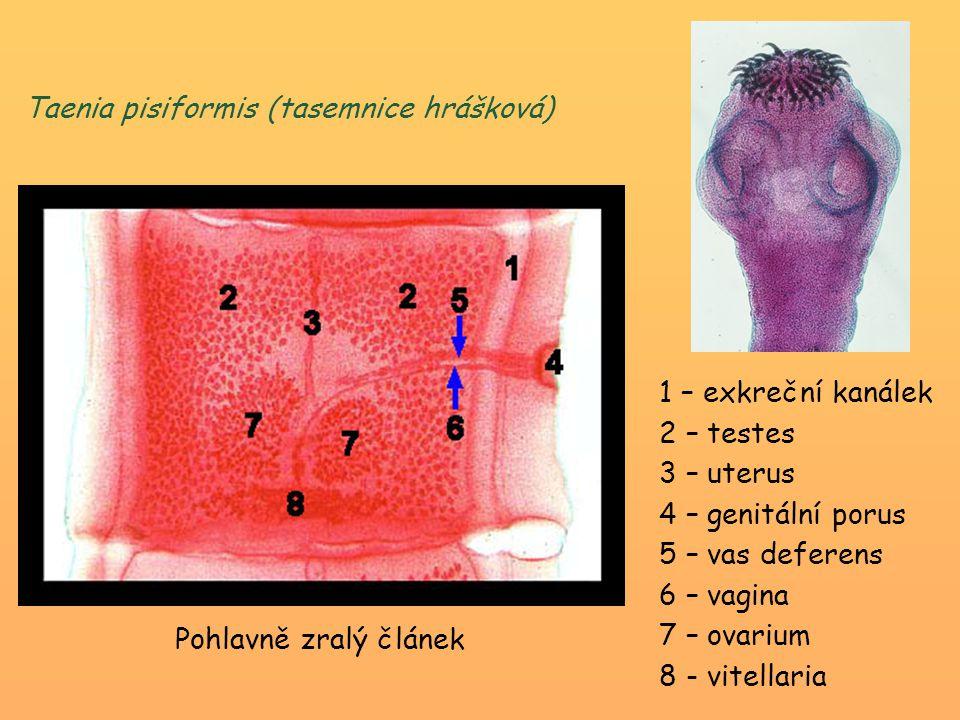 Taenia pisiformis (tasemnice hrášková)