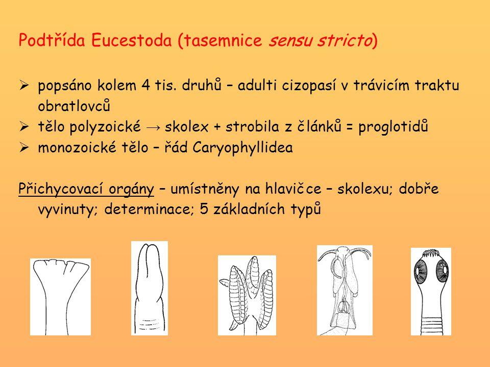 Podtřída Eucestoda (tasemnice sensu stricto)