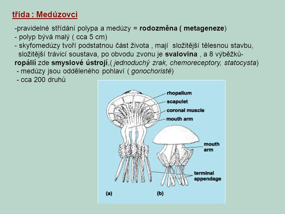 třída : Medúzovci pravidelné střídání polypa a medúzy = rodozměna ( metageneze) polyp bývá malý ( cca 5 cm)