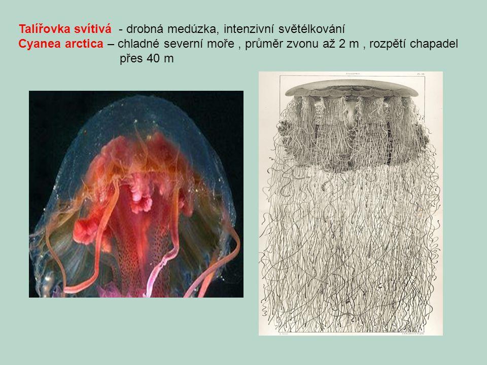 Talířovka svítivá - drobná medúzka, intenzivní světélkování