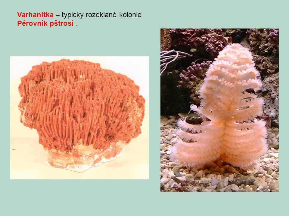 Varhanitka – typicky rozeklané kolonie