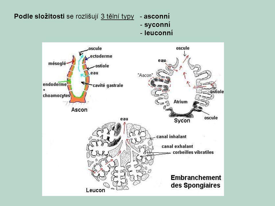 Podle složitosti se rozlišují 3 tělní typy - asconní