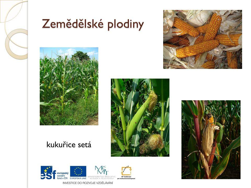 Zemědělské plodiny kukuřice setá