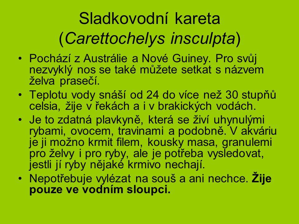 Sladkovodní kareta (Carettochelys insculpta)