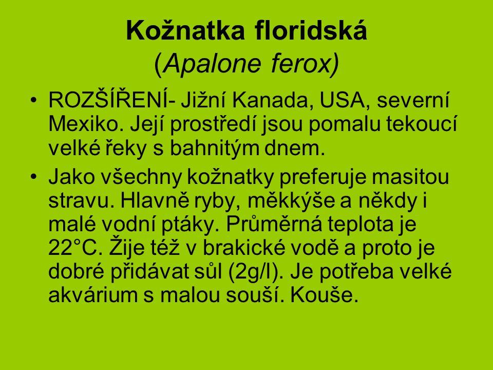 Kožnatka floridská (Apalone ferox)