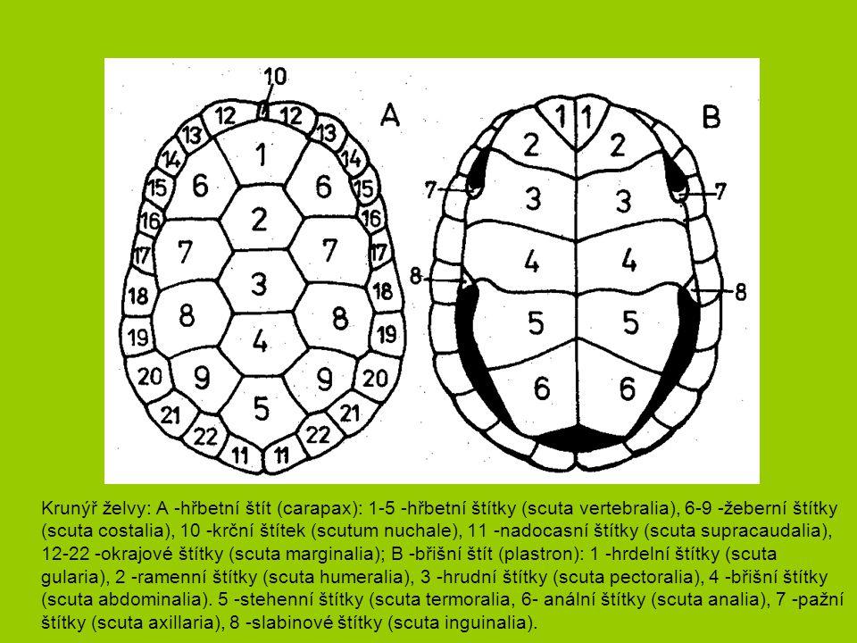 Krunýř želvy: A -hřbetní štít (carapax): 1-5 -hřbetní štítky (scuta vertebralia), 6-9 -žeberní štítky (scuta costalia), 10 -krční štítek (scutum nuchale), 11 -nadocasní štítky (scuta supracaudalia), 12-22 -okrajové štítky (scuta marginalia); B -břišní štít (plastron): 1 -hrdelní štítky (scuta gularia), 2 -ramenní štítky (scuta humeralia), 3 -hrudní štítky (scuta pectoralia), 4 -břišní štítky (scuta abdominalia).