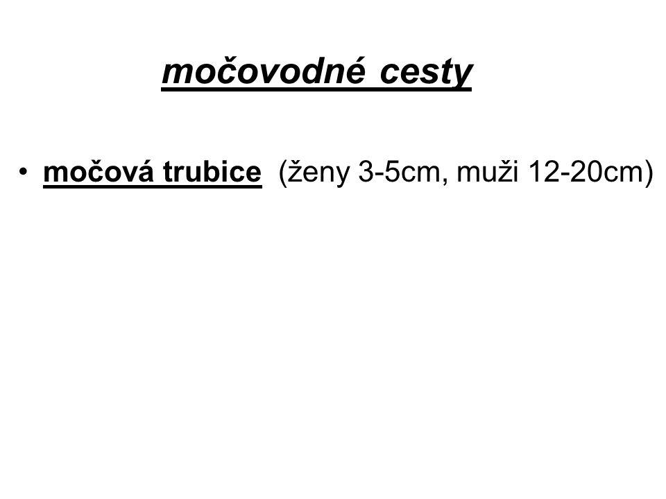 močovodné cesty močová trubice (ženy 3-5cm, muži 12-20cm)