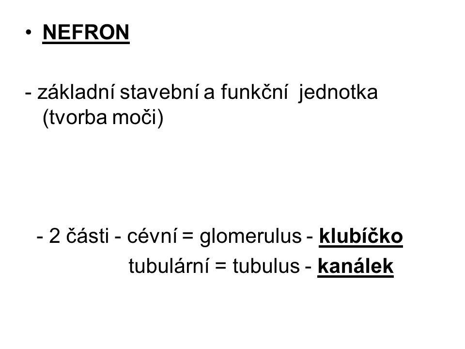 NEFRON - základní stavební a funkční jednotka (tvorba moči) - 2 části - cévní = glomerulus - klubíčko.