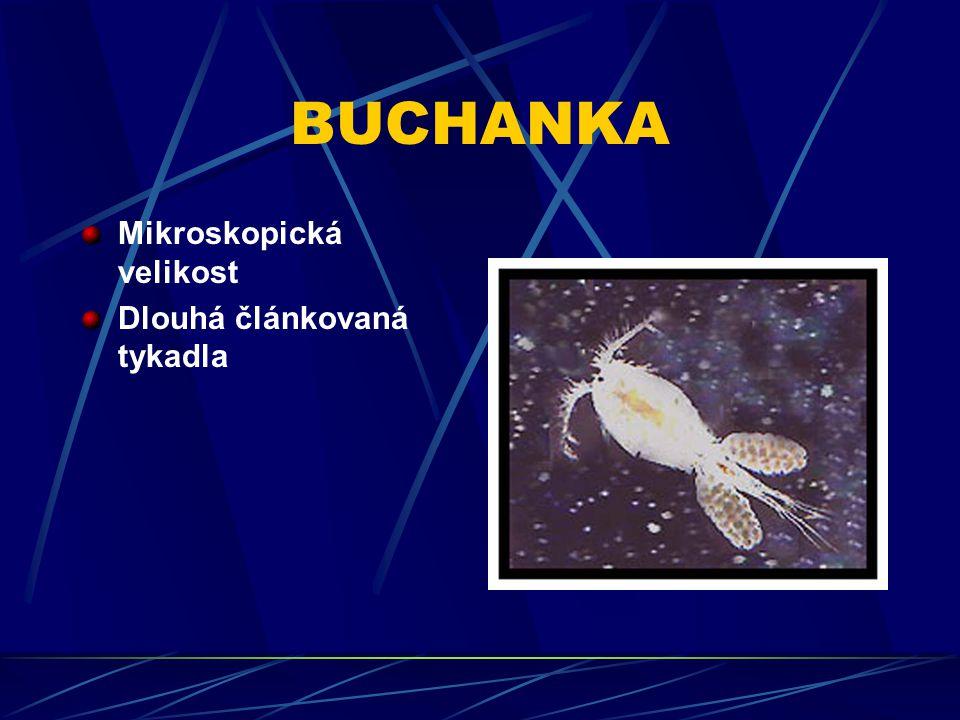 BUCHANKA Mikroskopická velikost Dlouhá článkovaná tykadla