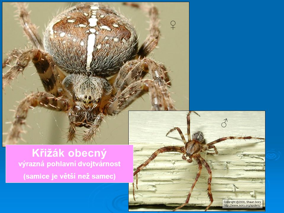 ♀ ♂ Křižák obecný výrazná pohlavní dvojtvárnost (samice je větší než samec)
