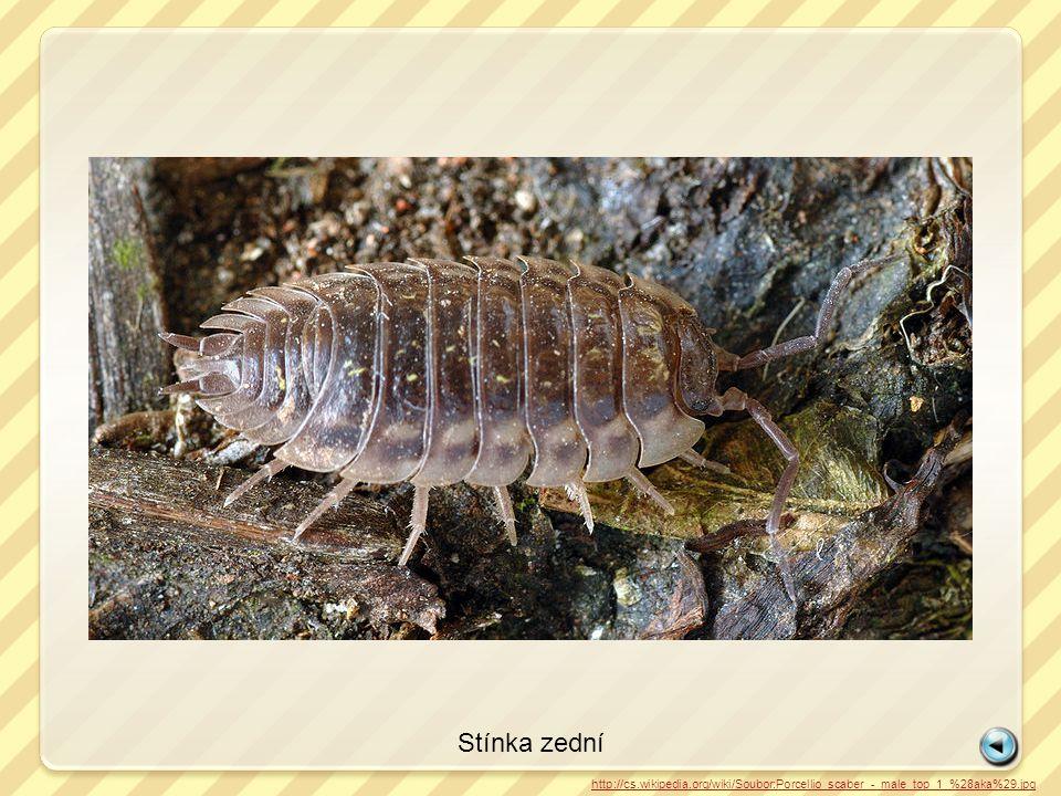 Stínka zední http://cs.wikipedia.org/wiki/Soubor:Porcellio_scaber_-_male_top_1_%28aka%29.jpg