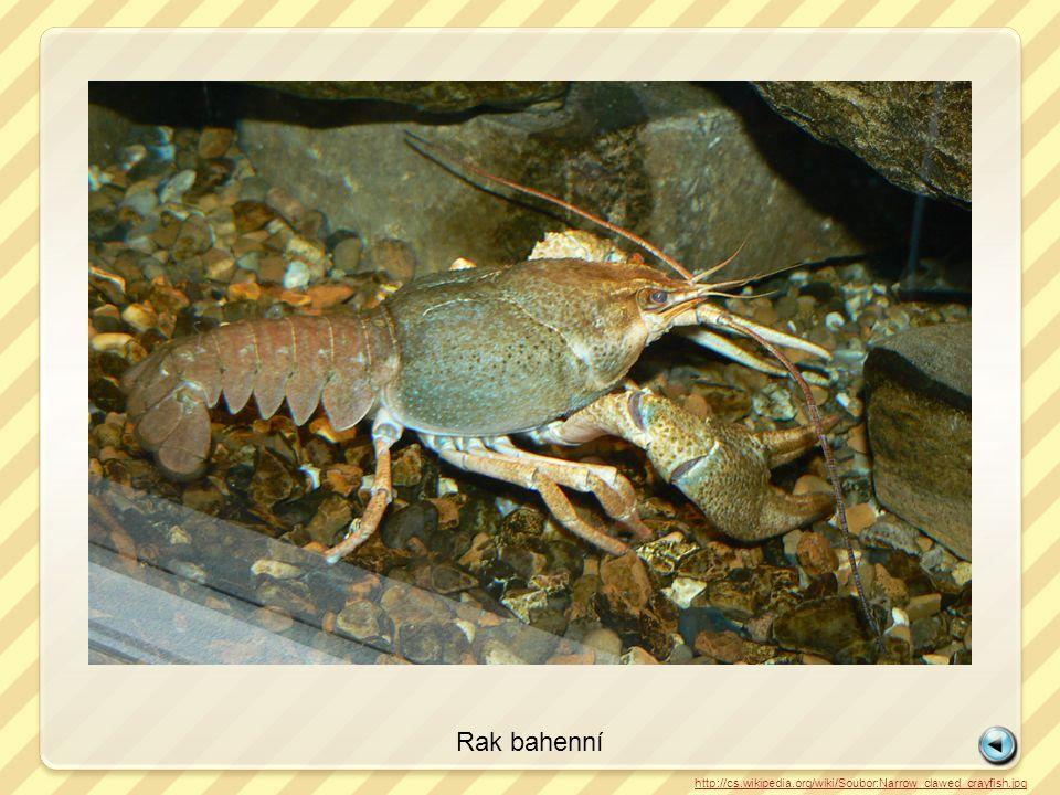 Rak bahenní http://cs.wikipedia.org/wiki/Soubor:Narrow_clawed_crayfish.jpg
