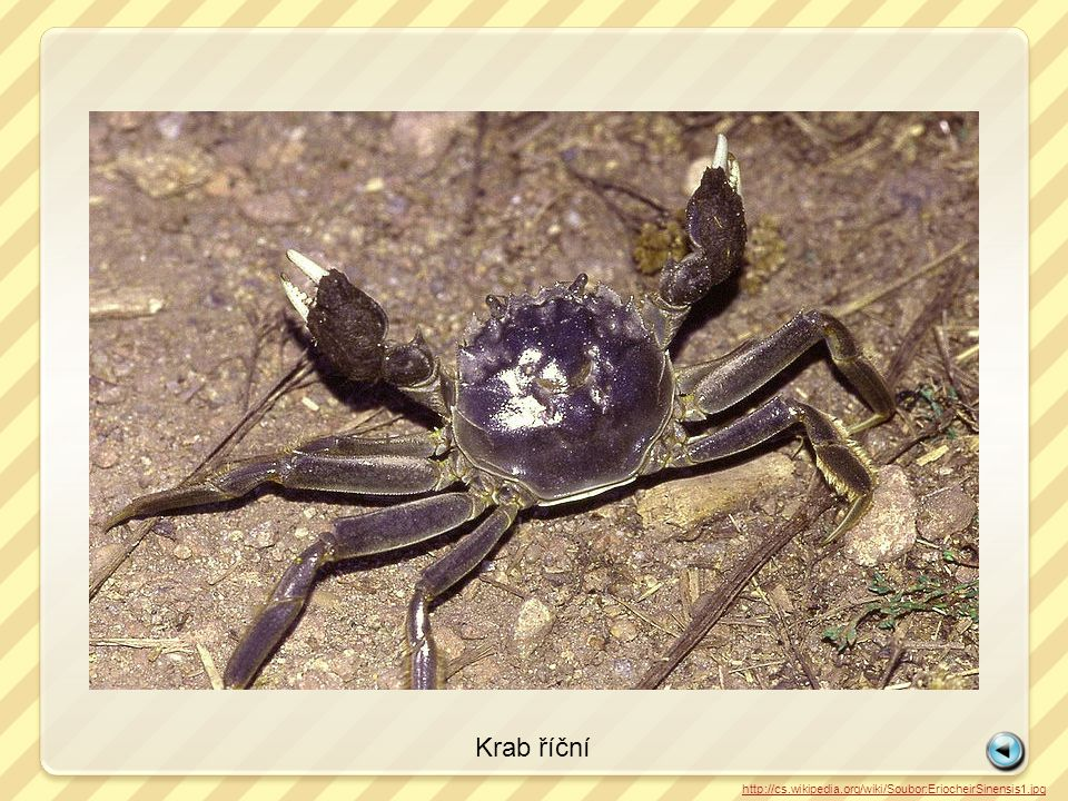 Krab říční http://cs.wikipedia.org/wiki/Soubor:EriocheirSinensis1.jpg