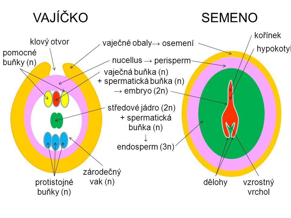 VAJÍČKO SEMENO kořínek klový otvor vaječné obaly → osemení hypokotyl