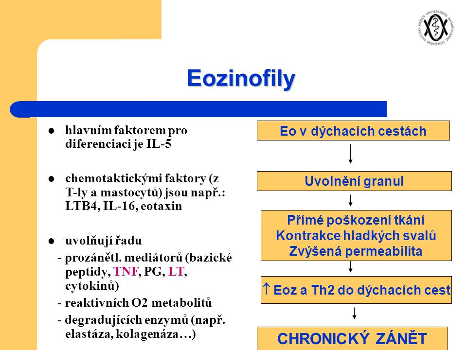Kontrakce hladkých svalů  Eoz a Th2 do dýchacích cest