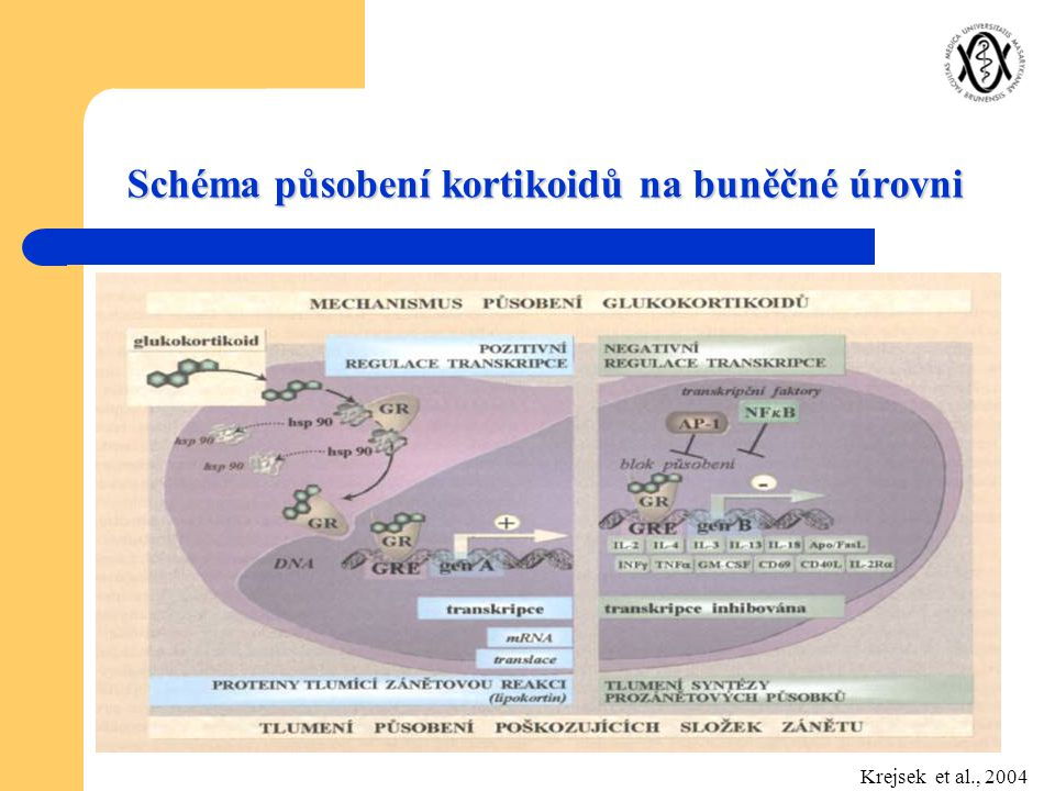 Schéma působení kortikoidů na buněčné úrovni