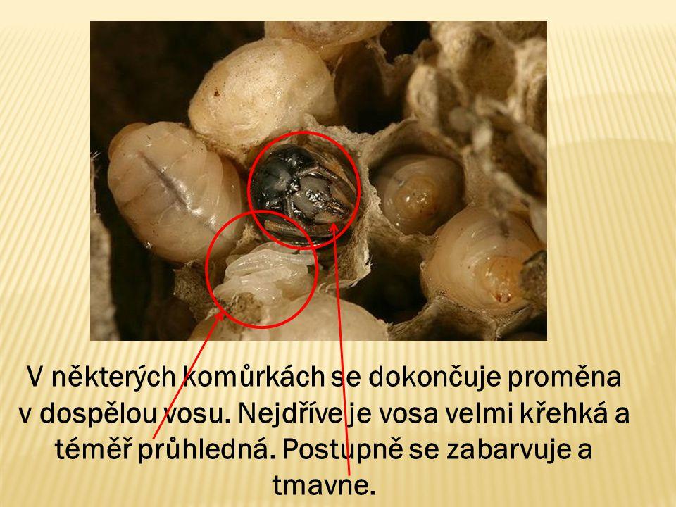 V některých komůrkách se dokončuje proměna v dospělou vosu