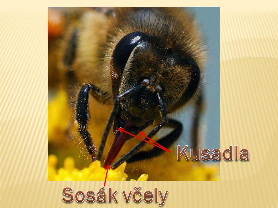 Kusadla Sosák včely
