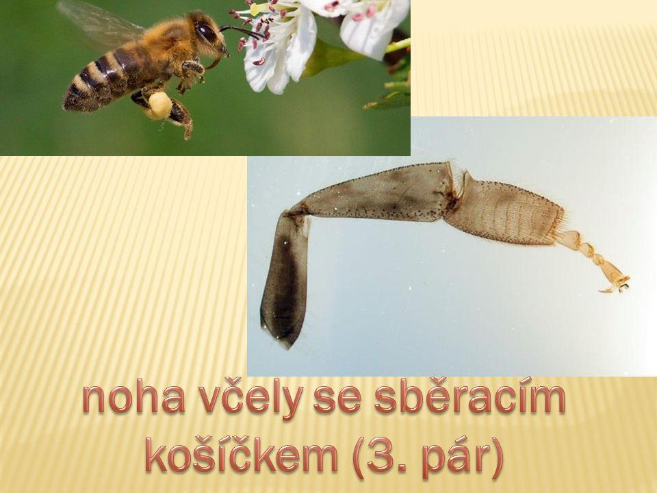 noha včely se sběracím košíčkem (3. pár)