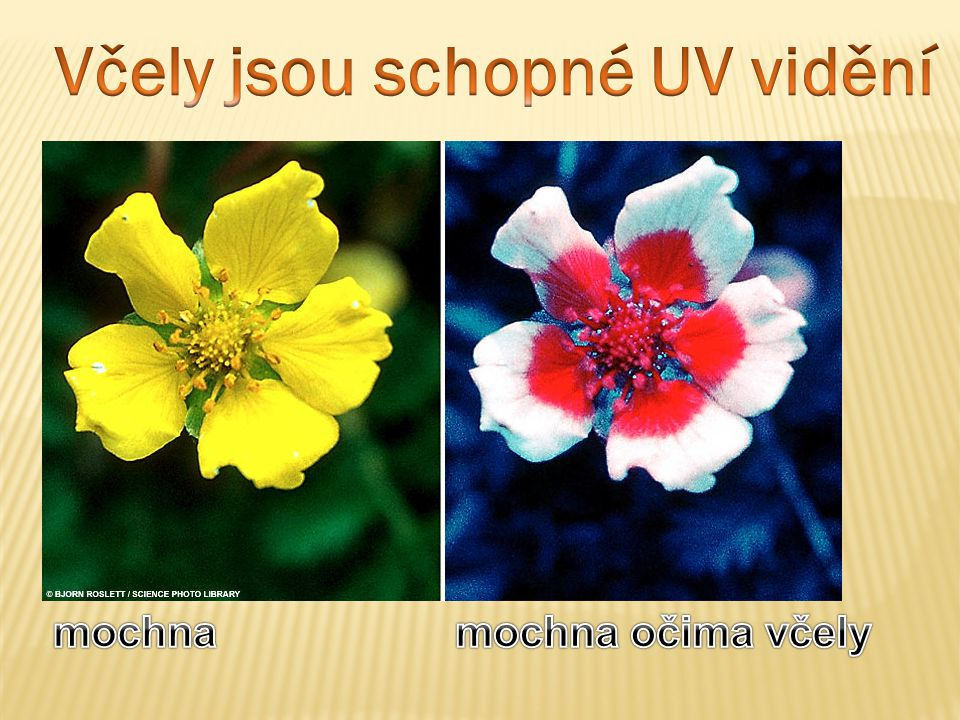 Včely jsou schopné UV vidění