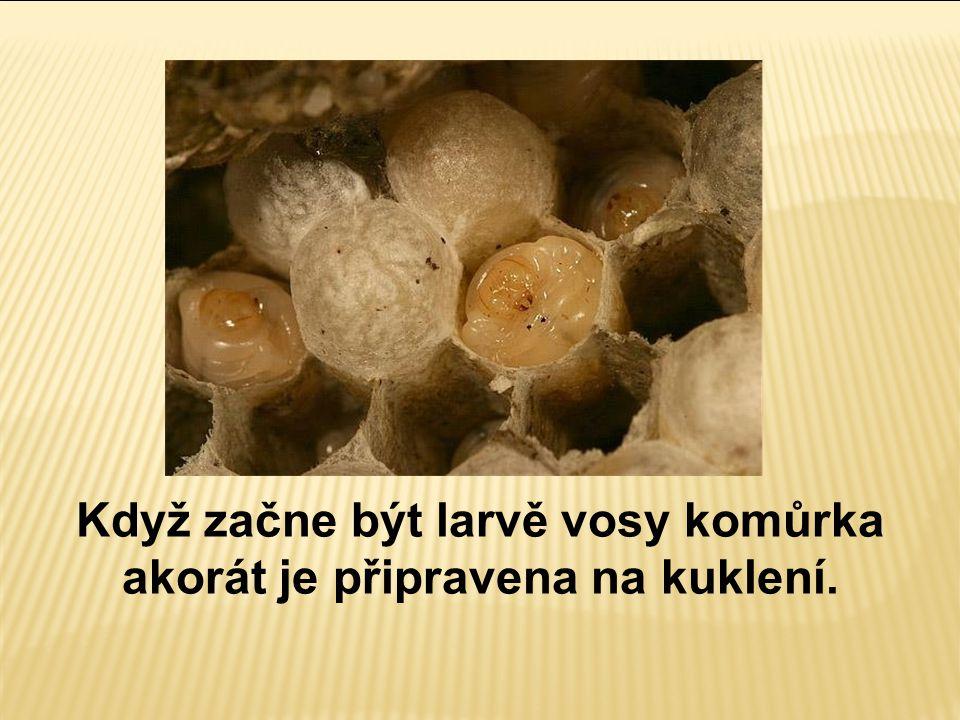 Když začne být larvě vosy komůrka akorát je připravena na kuklení.