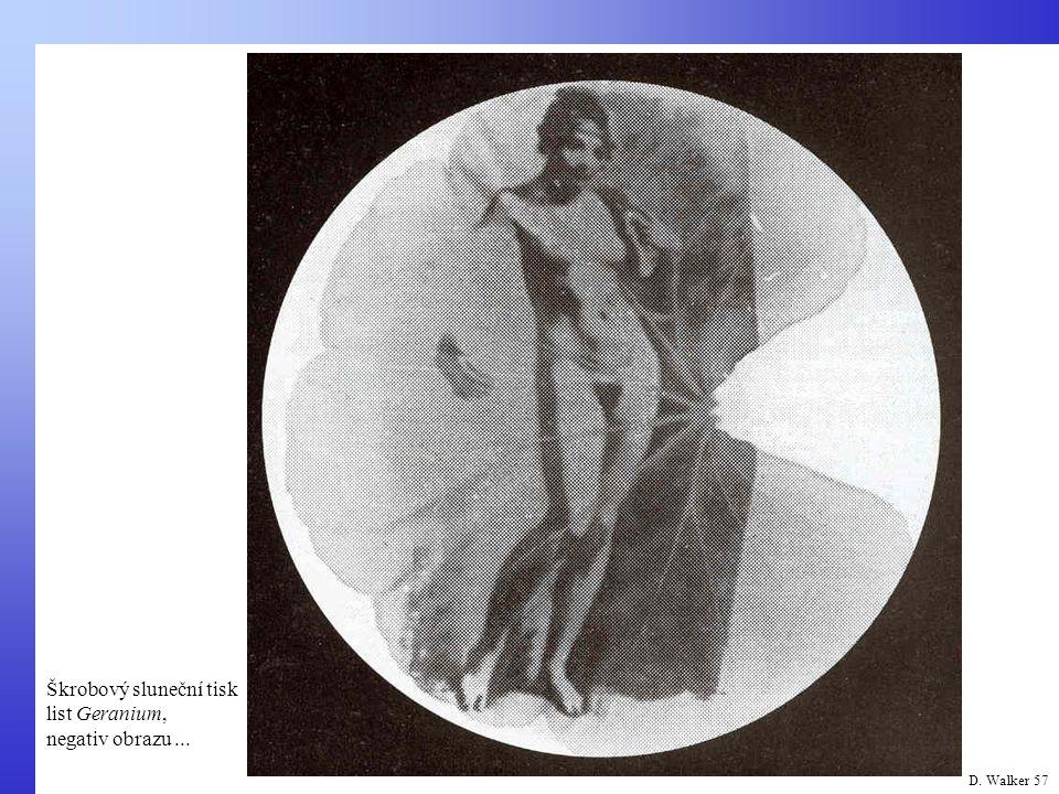 Škrobový sluneční tisk list Geranium, negativ obrazu ...