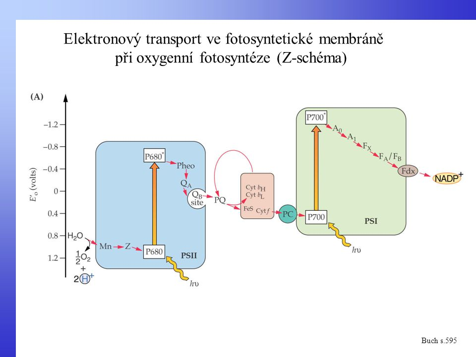 Elektronový transport ve fotosyntetické membráně