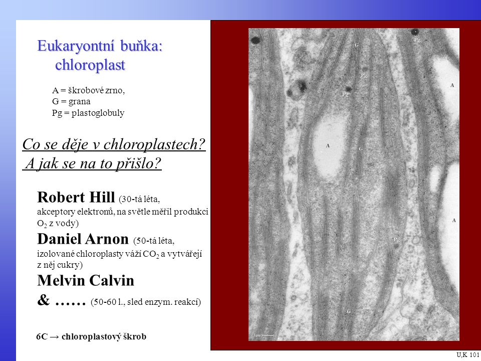 Eukaryontní buňka: chloroplast