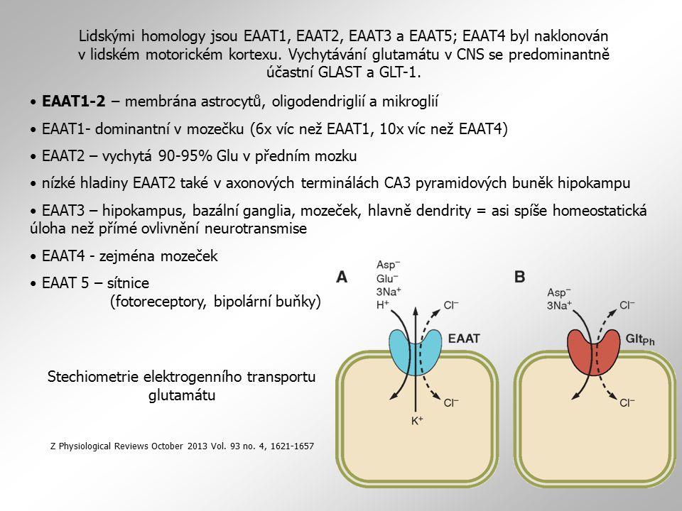 EAAT1-2 – membrána astrocytů, oligodendriglií a mikroglií