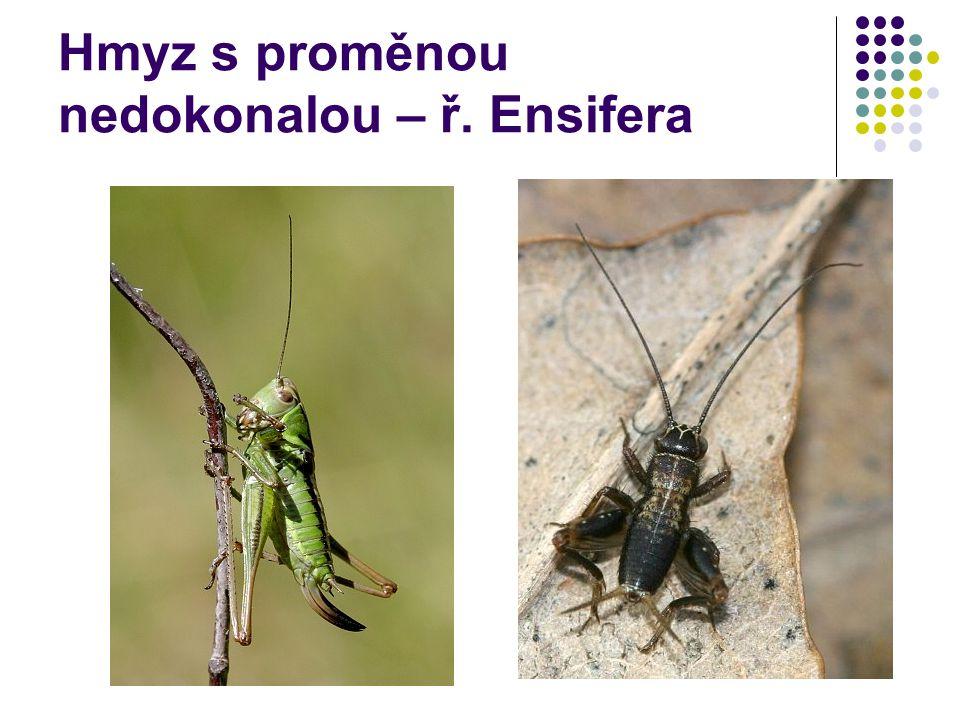 Hmyz s proměnou nedokonalou – ř. Ensifera