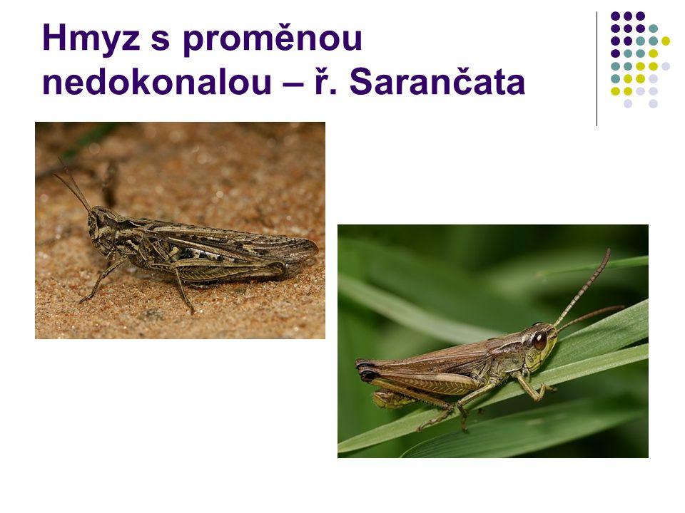 Hmyz s proměnou nedokonalou – ř. Sarančata