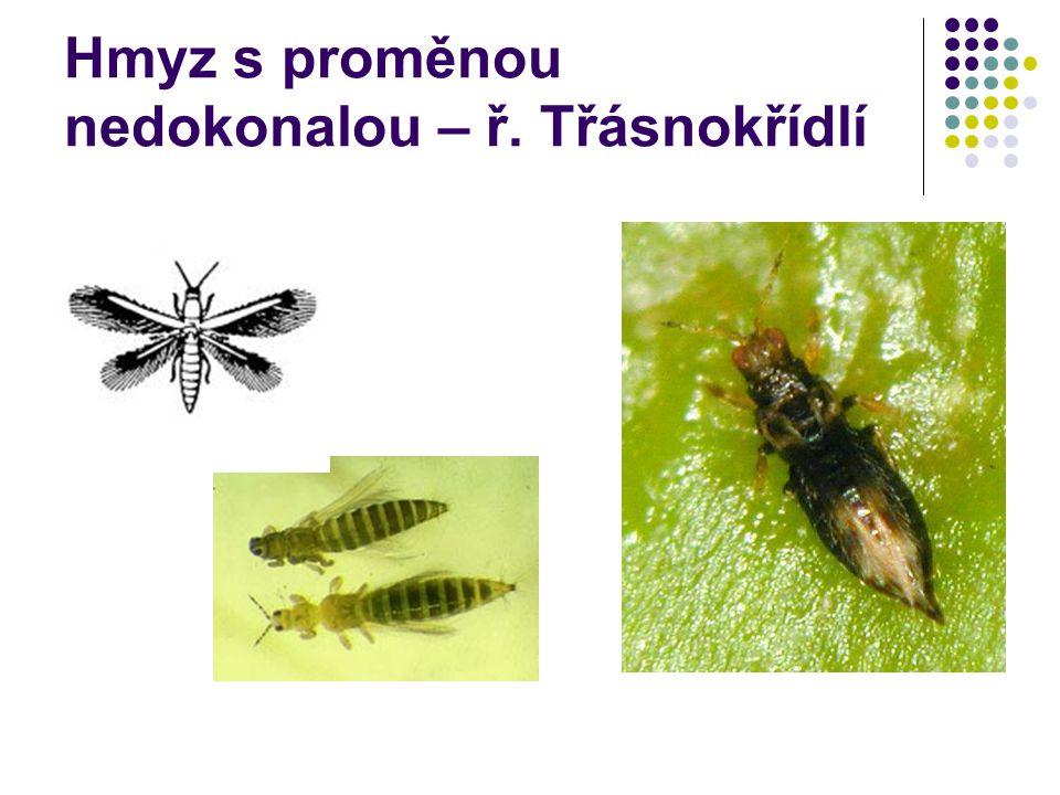 Hmyz s proměnou nedokonalou – ř. Třásnokřídlí