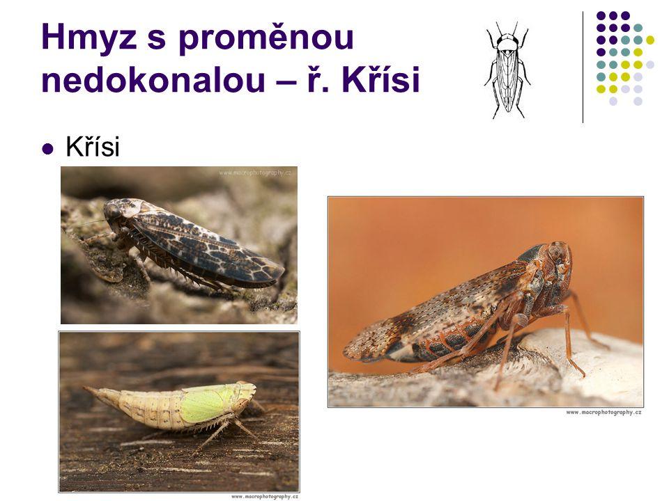 Hmyz s proměnou nedokonalou – ř. Křísi