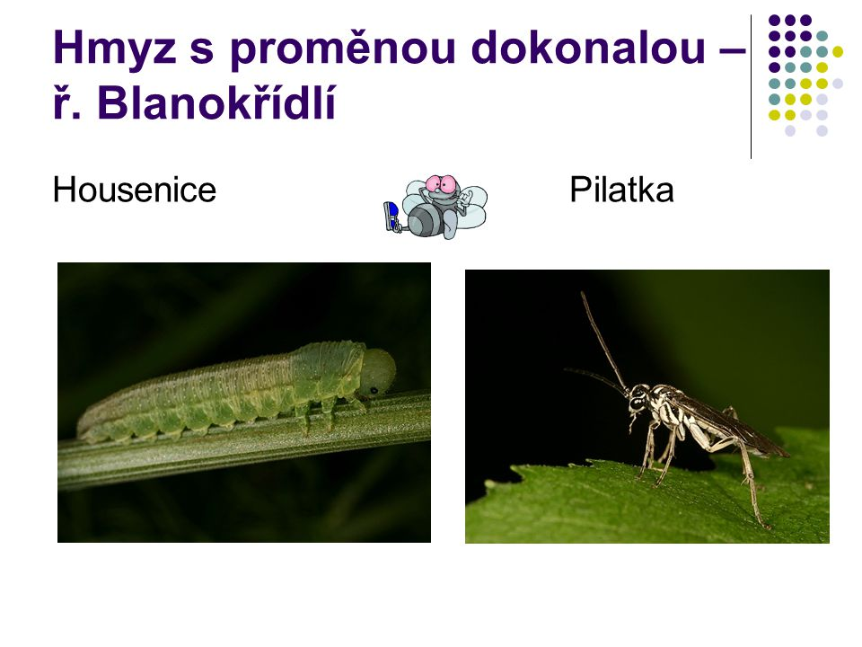 Hmyz s proměnou dokonalou – ř. Blanokřídlí