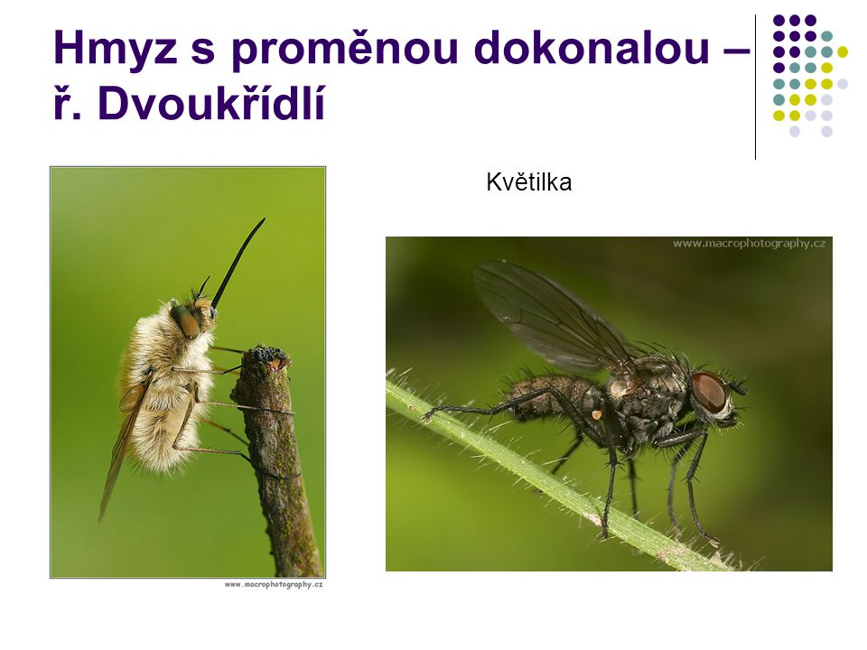 Hmyz s proměnou dokonalou – ř. Dvoukřídlí