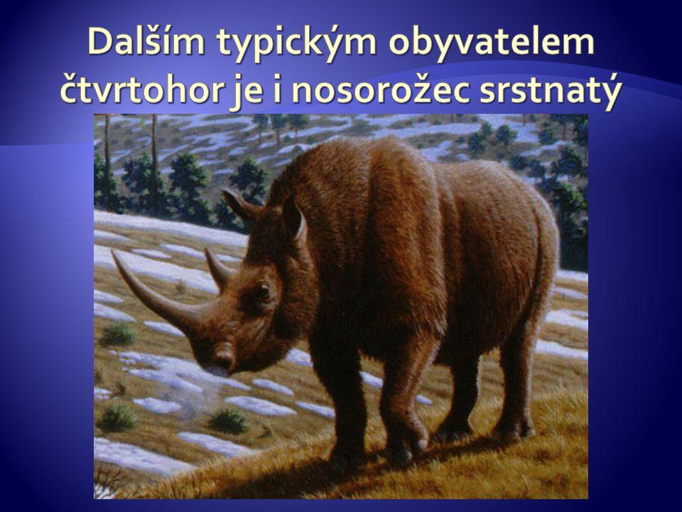 Dalším typickým obyvatelem čtvrtohor je i nosorožec srstnatý