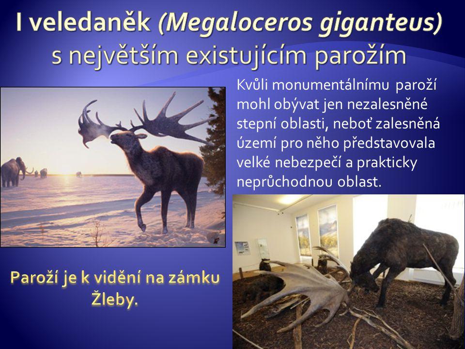 I veledaněk (Megaloceros giganteus) s největším existujícím parožím