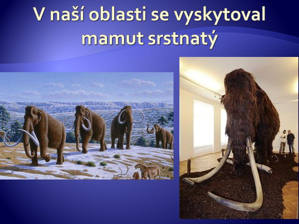 V naší oblasti se vyskytoval mamut srstnatý
