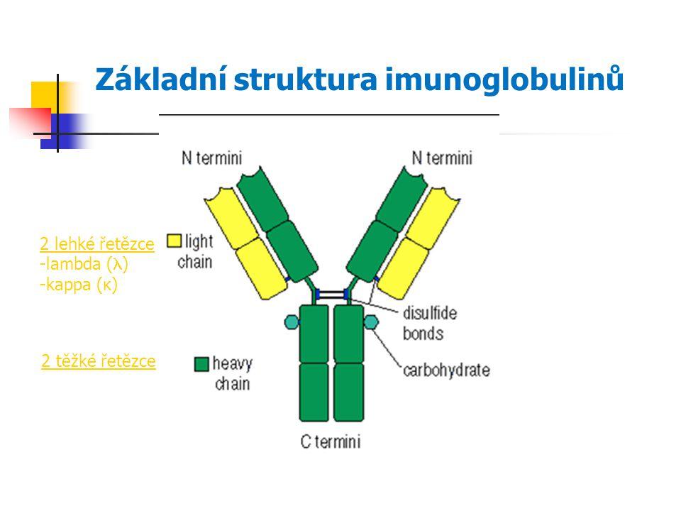Základní struktura imunoglobulinů