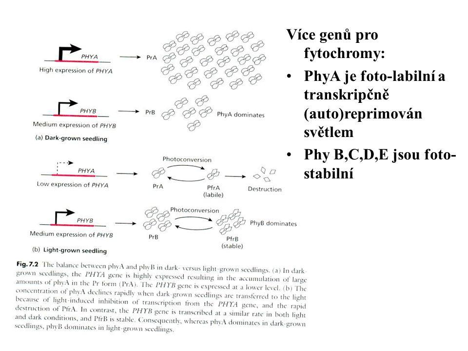 Více genů pro fytochromy: